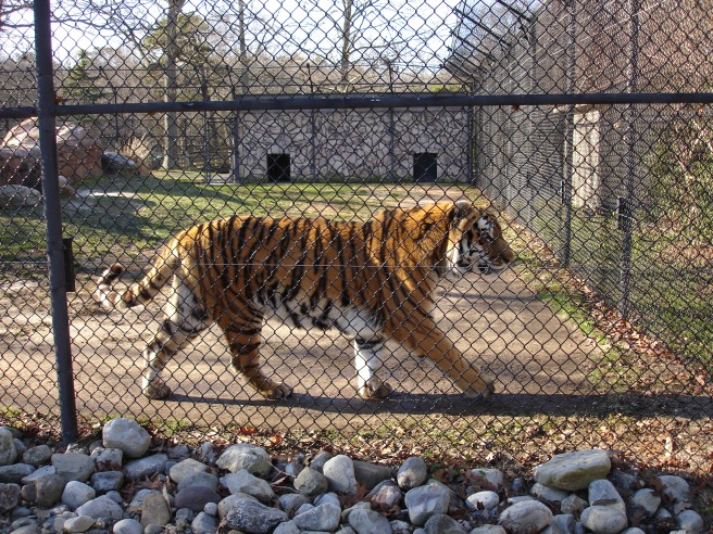 tiger at zoo new jersey