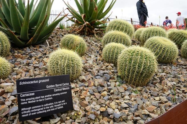 golden barrel cactus melbourne australia