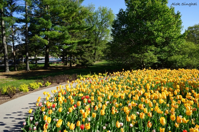 where to see tulips in canada